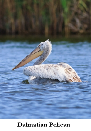 Dalmatian Pelican on the Prespa Lakes in Greece pinned from https://www.greece-travel-secrets.com/The-Prespa-Lakes.html
