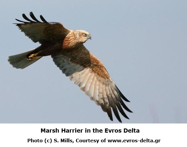 Marsh Harrier: Birdwatching in Greece: https://www.greece-travel-secrets.com/Birdwatching-in-Greece.html