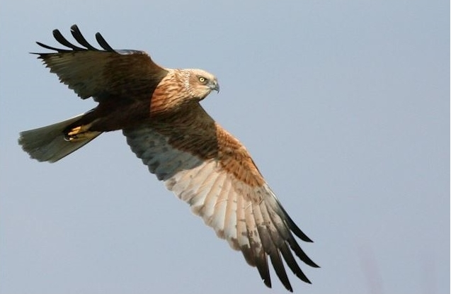 Marsh harrier in the Evros Delta wetland in Greece, from https://www.greece-travel-secrets.com/Evros-Delta.html