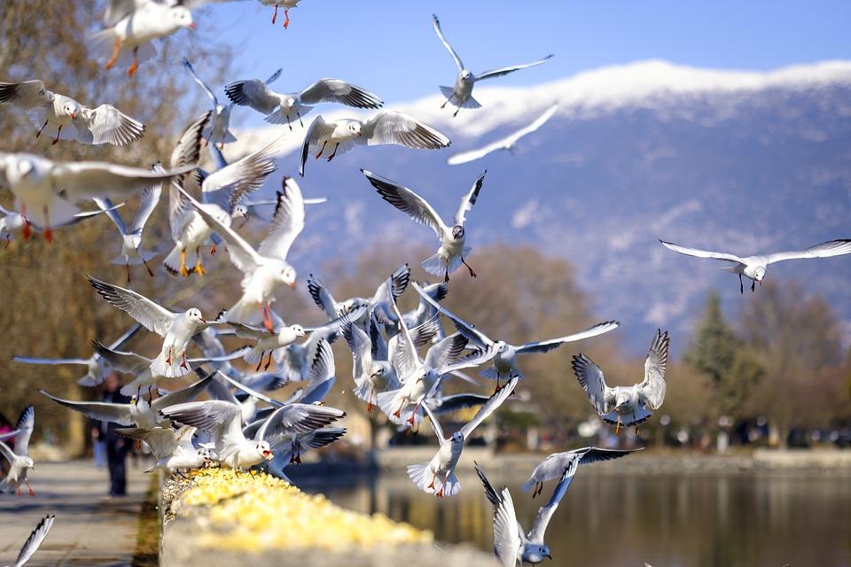 Seagulls in Ioannina