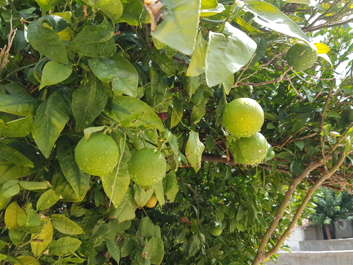 Limes hanging from a tree branch in the streets of Crete's pottery capital, Margarites.