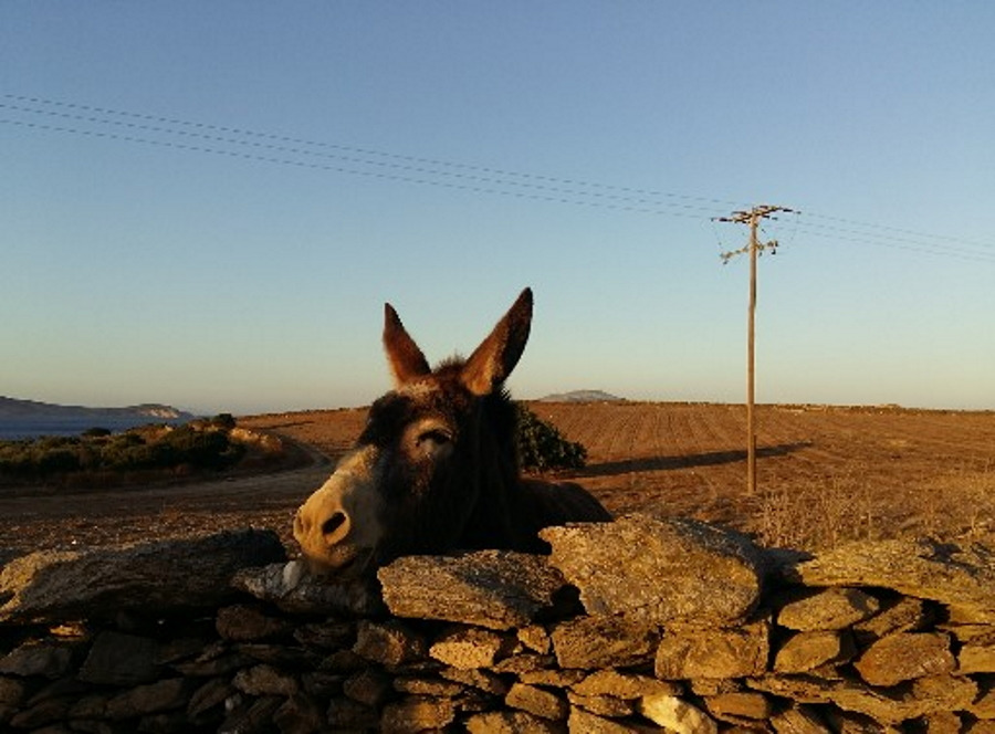 Donkey in Schinoussa and Iraklia