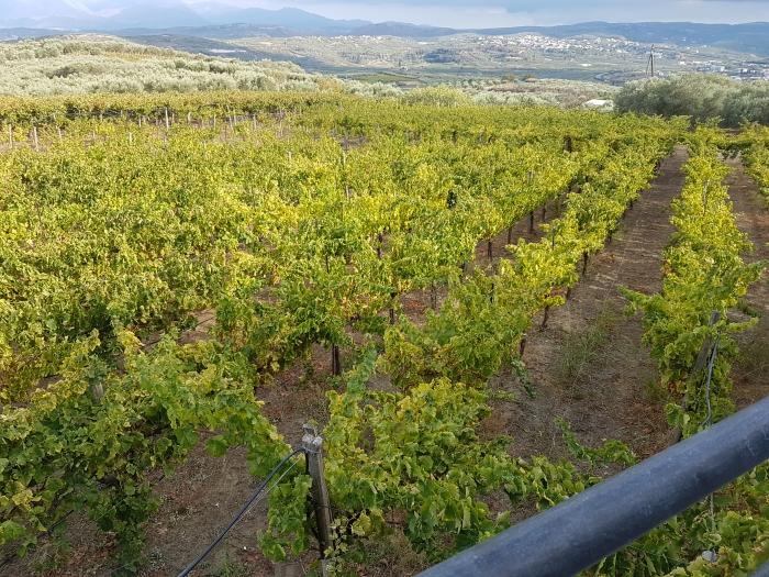 Vines at the Stilianou Winery near Knossos on Crete