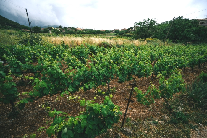 Vineyards of Antonis Maroudas, Zakynthos winemaker