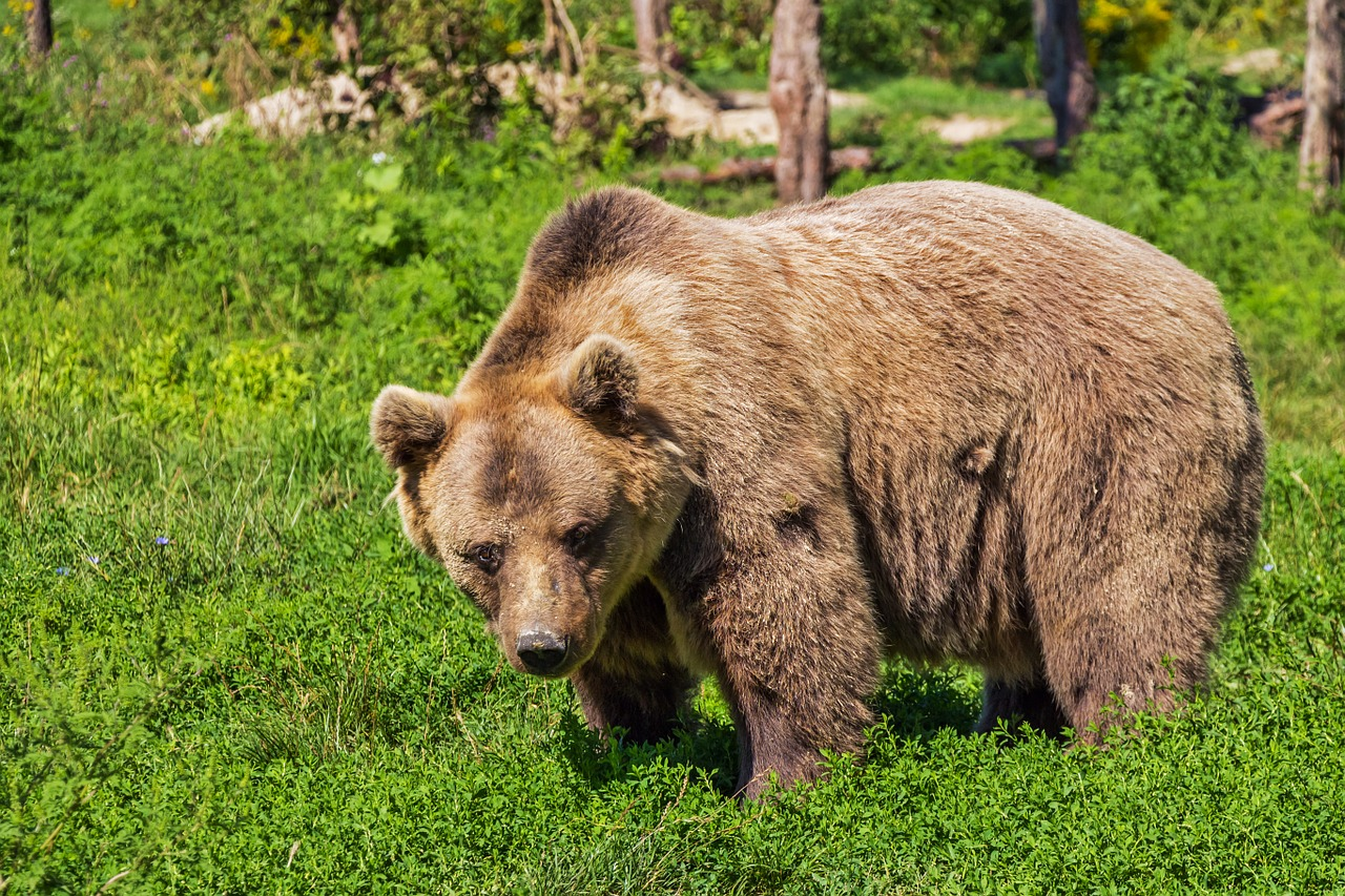 Brown bear in Greece