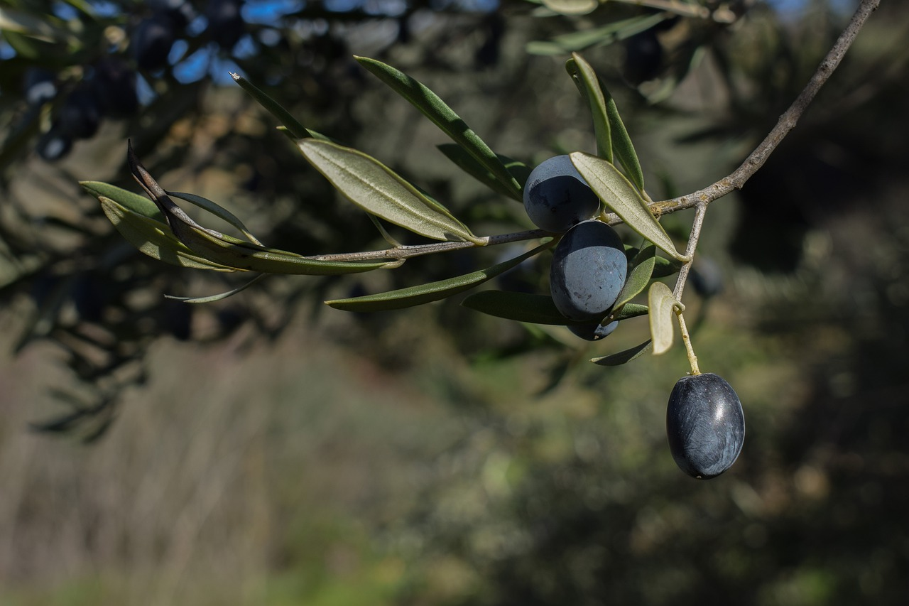 Olives on an olive tree in Greece