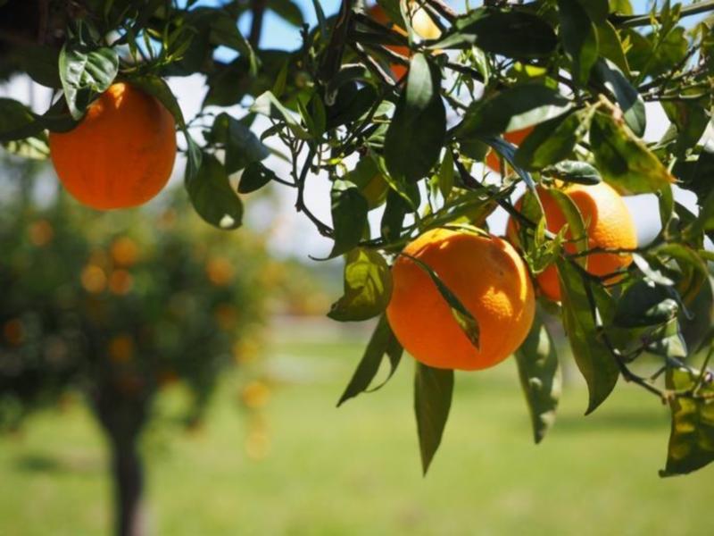Oranges on Crete