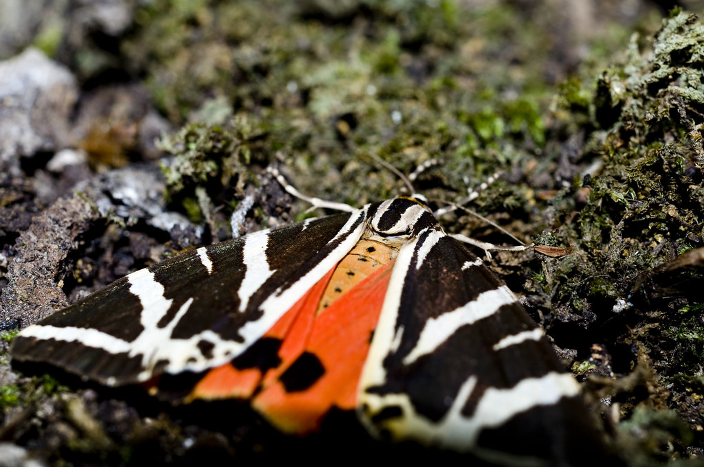 Jersey Tiger Moth on Rhodes