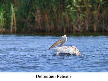 Dalmatian Pelican: Birdwatching in Greece: http://www.greece-travel-secrets.com/Birdwatching-in-Greece.html