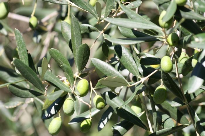 Greek olive tree