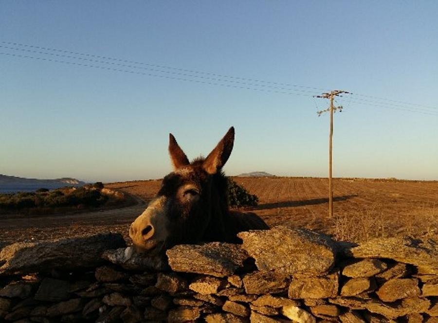 Donkey in Schinoussa and Iraklia